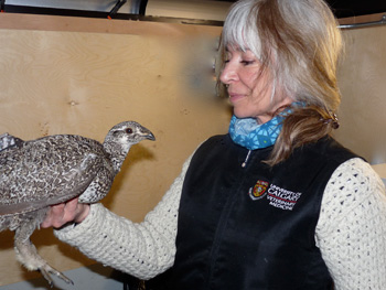 Judit Smits holds a sage-grouse from Montana that was introduced to the dwindling population of birds in south eastern Alberta. Credit: Massimiliano Probo
